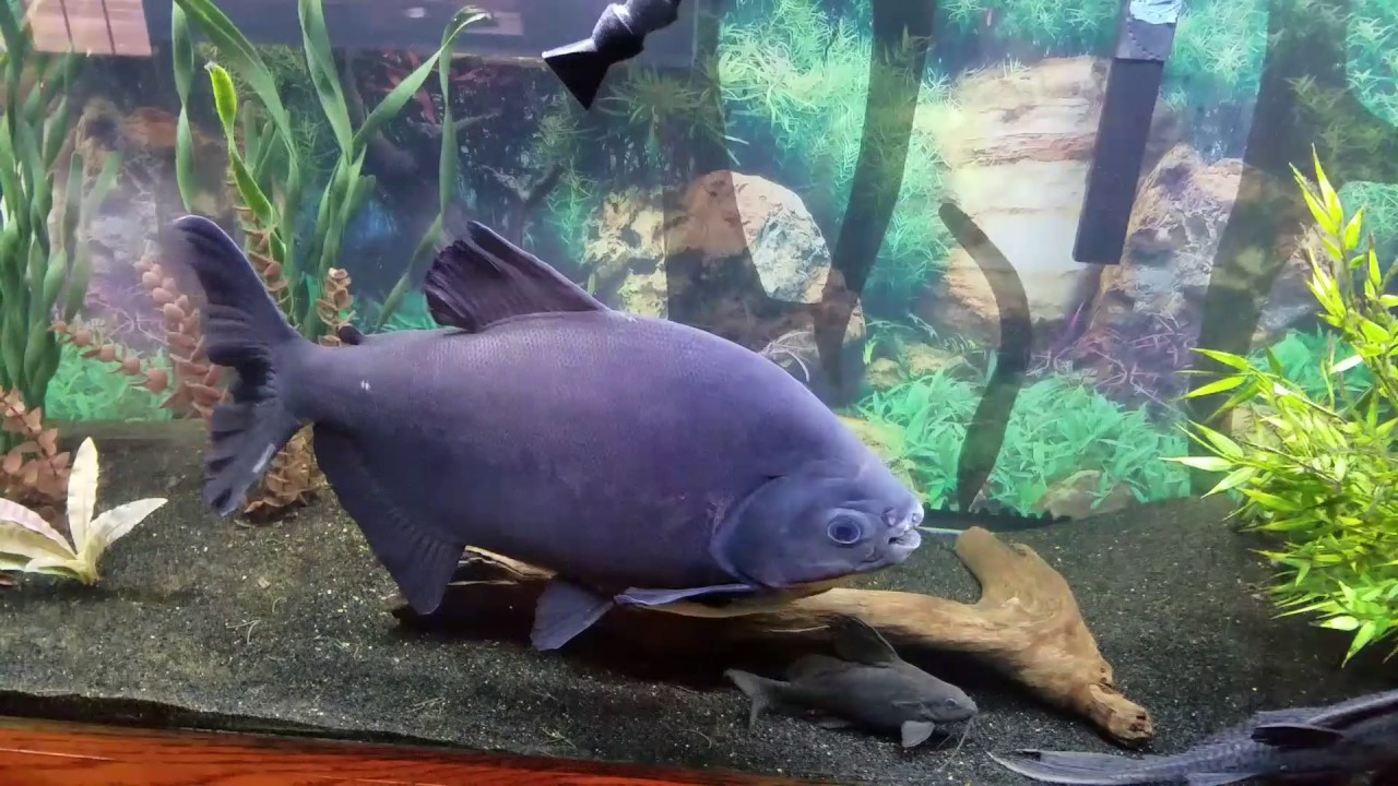 Pacu fish in his new 125 gallon tank