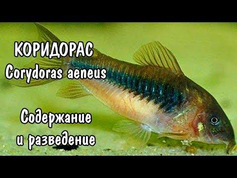 КОРИДОРАС. СОДЕРЖАНИЕ И РАЗВЕДЕНИЕ. Corydoras aeneus