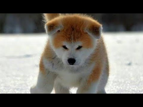 Amazing Facts on Akita | In Hindi | Dog Facts | Animal Channel Hindi