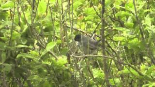 Sardinian Warbler. Land