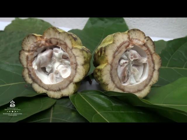 Levantarán Primer Censo Nacional de Productores de Cacao
