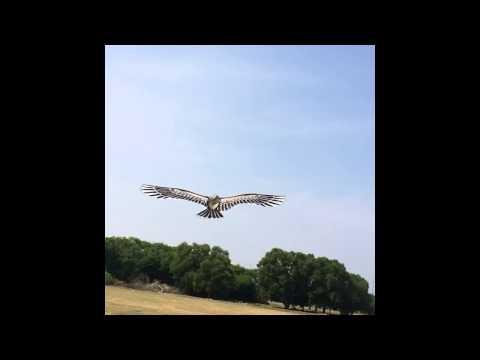 Eagle Kite. Pilot : Tow Jia Jian. Team Impian Melaka.