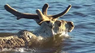 Дикари - дикие северные олени
