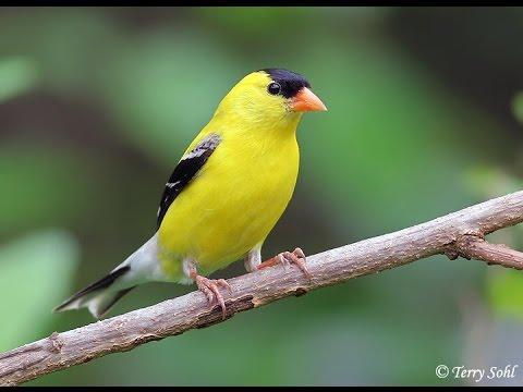 Suara Ocehan Burung GOLDFINCH Untuk Masteran Durasi Panjang