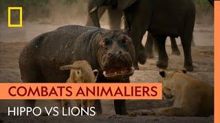 Violent affrontement entre un hippopotame et des lions