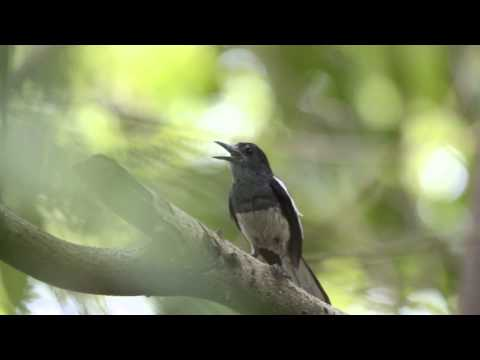 Amar-Magpie Robin-unusual female-1.wmv