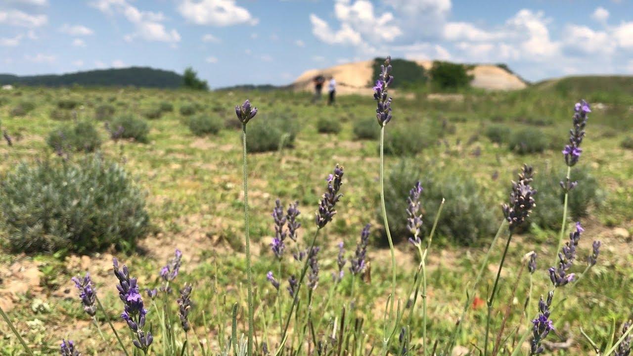 Growing Lavender in West Virginia
