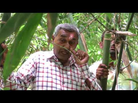 बाँस की खेती (Bamboo Farming)