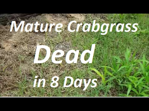 How To Kill Mature Crabgrass In 8 Days - Post Emergent Herbicide