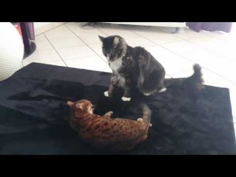 Fight Bengal cat vs maine coon