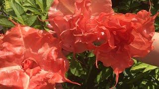 МАХРОВАЯ БРУГМАНСИЯ - ФАНТАСТИКА ! ! ! Выращивание, уход, посадка, полив,, цветение.(МАХРОВАЯ БРУГМАНСИЯ - ФАНТАСТИКА ! ! ! Выращивание, уход, посадка, полив, цветение. МОЙ 2Й КАНАЛ