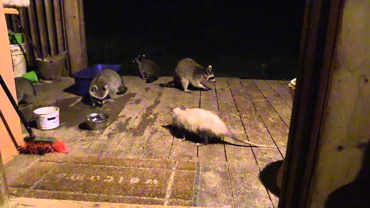 how to keep raccoons and possums out of your yard
