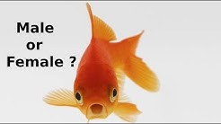 How to identify Male or Female in Gold fish