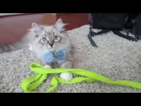Twin Boy Mink Ragdoll Kittens