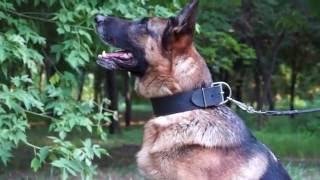 シェパード用幅広首輪! シンプル本革製! 大型犬の散歩、訓練にどうぞ...
