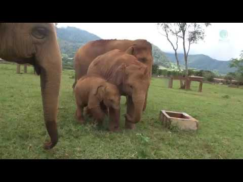 Elephant doesn't want baby get close to 1 feet deep well