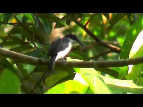 Flycatcher-Shrike, Black-winged - Hemipus picutus