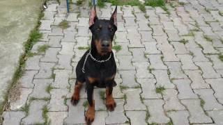 Yavru köpek eğitimi - Afrodit ilkokula başladı.