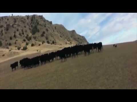 Australian Kelpies Driving Bulls - Burkelodge Becker and Burradoo Muster