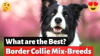 What are the Best Border Collie MixBreeds? Which one should you get?