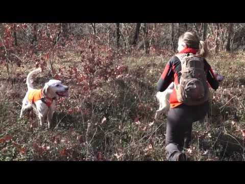 Woodcock hunting with English setter