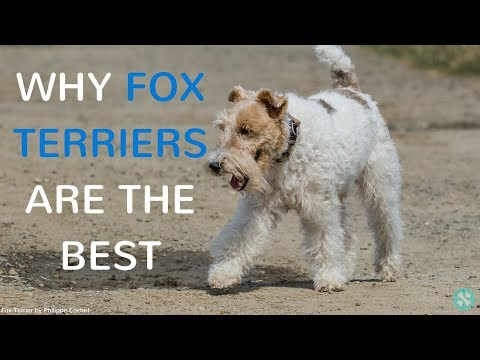 Why Fox Terriers Are The Best