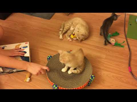 Max the Siamese Cat and Foster Kittens Get a Box of Cat Toys!! They Go Crazy Over Them!