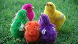 New Technology Breeding chicken - Colourful chick's ~ VIRAL thumbnail