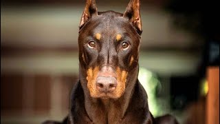 O poder do Doberman | A fera da guarda alemã