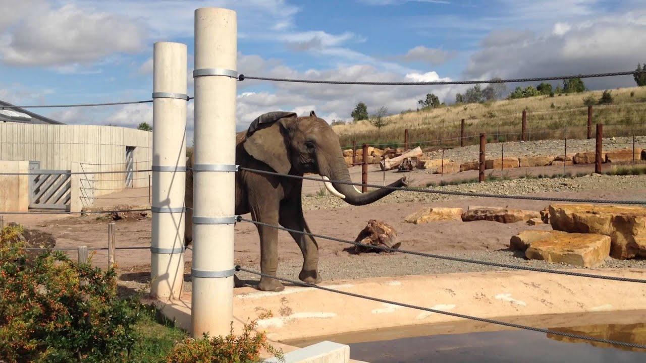 elefantenbulle kibo erkundet den erfurter zoo youtube. Black Bedroom Furniture Sets. Home Design Ideas