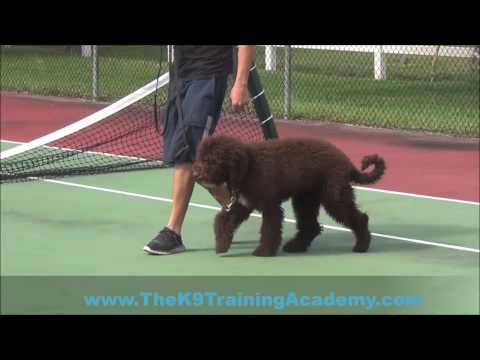 Benson with Basic Obedience! *The K9 Training Academy*