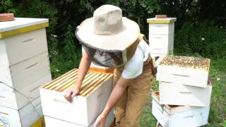 Why Managing Bee Hives as Single Brood Chambers Works thumbnail