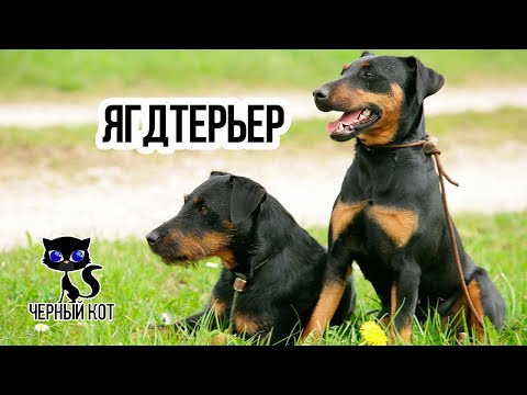 Ягдтерьер - охотничий пёс / Интересные факты о животных