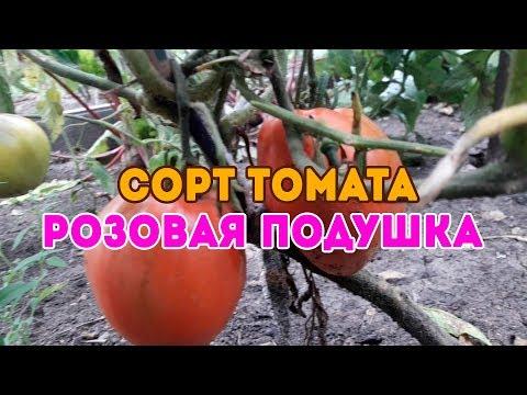 Сорт томата Розовая подушка! Подробный обзор