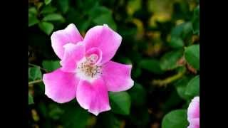 花の写真館の松山館長の秋から初冬の花特集です。 元・宝塚歌劇団月組ト...