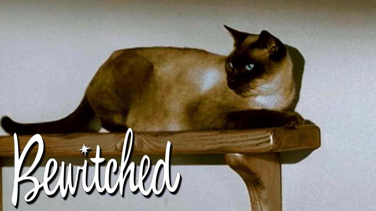 Has Samantha Transformed Into A Cat To Keep An Eye On Darrin? | Bewitched