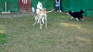 ハスキー犬とグレートデンの遊びに、レフェリーとして名乗りを上げたボ...