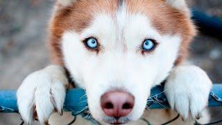 Самые преданные собаки в мире! Собаки верные друзья. Топ самых преданных: животные, существа, породы
