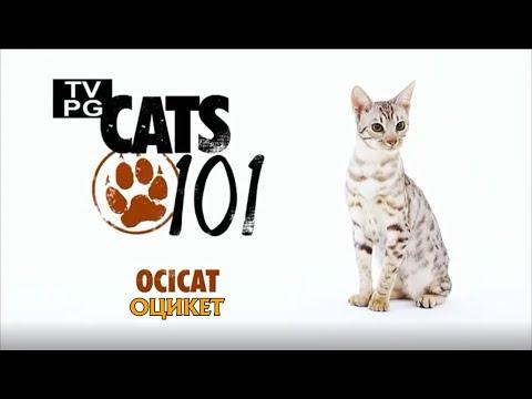 Оцикет 101Kote.ru Ocicat 101Cats