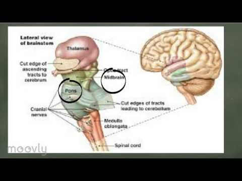 Basic Brain Anatomy Youtube