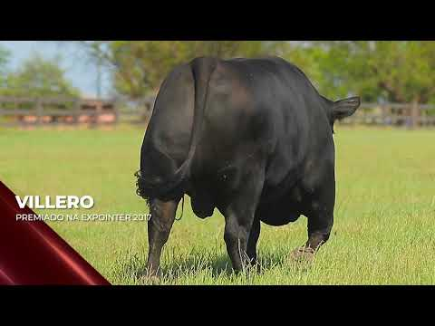 Touro Villero - Aberdeen Angus indicado para IATF - RENASCER BIOTECNOLOGIA VIDEO