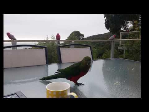 Wildlife in Lorne, Victoria - Australia