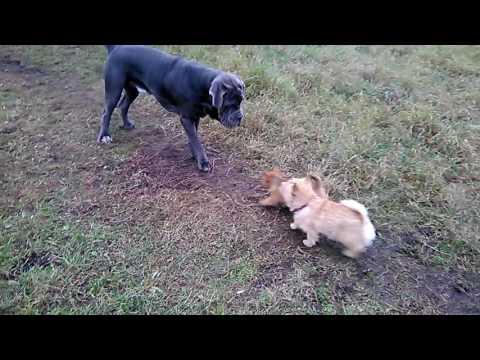 Norwich terrier Норвич терьер