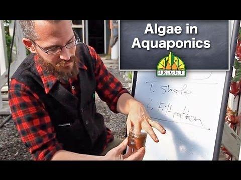 Algae in Aquaponics