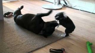 Boston Terrier Puppy Attacking Staffordshire Bull Terrier Ii