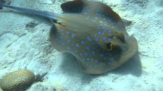 1306.00013 Bluespotted Lagoon Ray Thumbnail