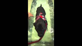 Staffordshire Bull Terrier On Water Treadmill