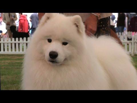 Richmond Dog Show 2016 - Pastoral group Shortlist