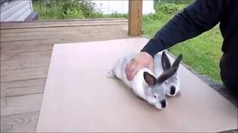 Запой кроликов комета запела