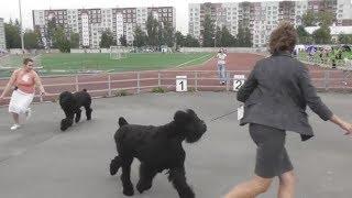 русский чёрный терьер, интернациональная выставка собак в Великом Новгороде ранга CACIB